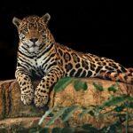 10 Ras Kucing Besar yang ada di Alam Liar