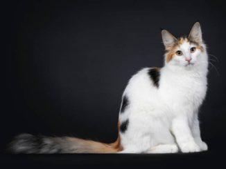 Karakter kucing