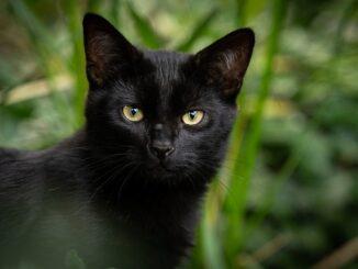 mistis kucing
